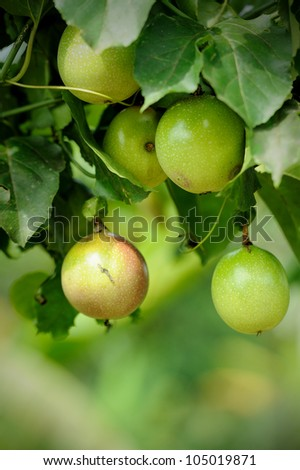 Close up of passion fruit on the vine, selective focus. - stock photo