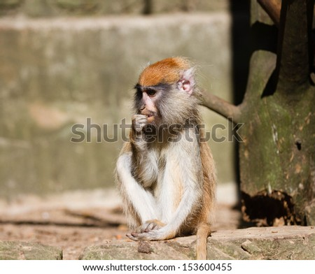 close up of Patas Monkey - stock photo