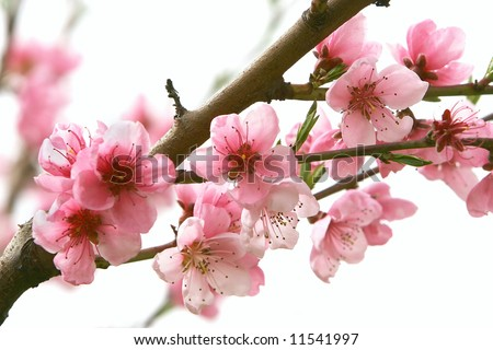 close up of peach flowers over white - stock photo