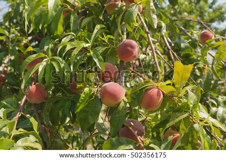 Close-up of peaches on the tree