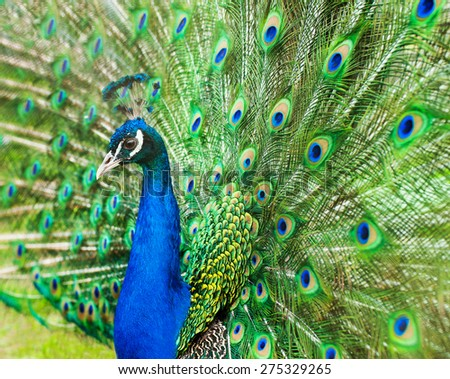 Close up of peacock - stock photo