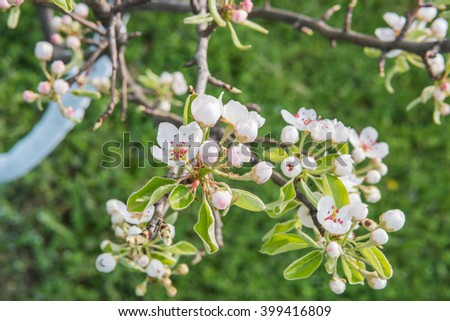 Close up of pear tree branch with flowers, selective focus, horizontal shot