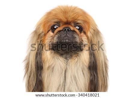Close-up of Pekingese dog isolated on white background - stock photo