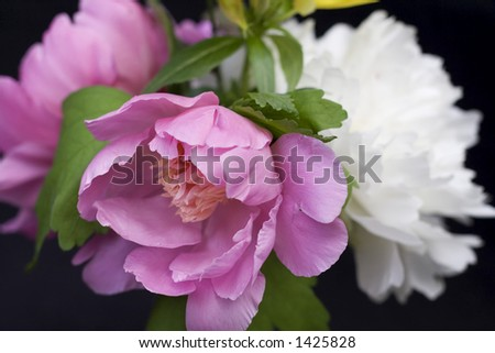 Close-up of peony flowers in an arrangement on black background - shallow depth of field. - stock photo