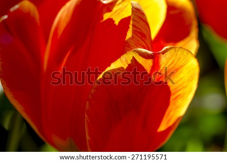 Close up of petals of orange and yellow tulip flower stem backlit by the sun in tulip field on flower bulb farm - stock photo
