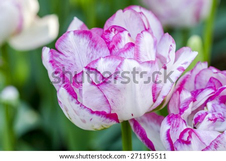 Close up of petals of purple and white tulip flower stem - stock photo