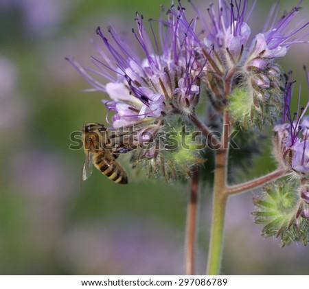 Close-up of  phacelia  flower (phacelia tanacetifolia) and honeybee collects nectar  - stock photo