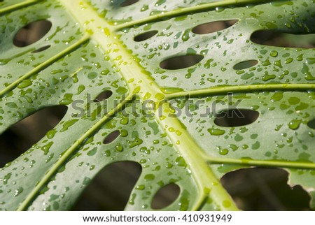 close up of philodendron leaf with rain drops. Guatemala  - stock photo