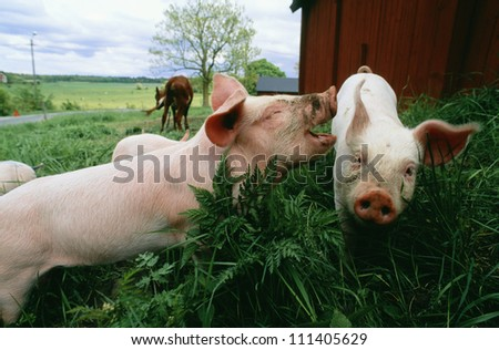 Close-up of piglets playing on a farmyard - stock photo