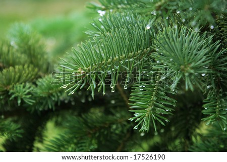 Close-up of  pine branches with water drops - stock photo