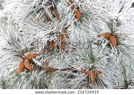 Close-up of Pine cones on branches with snow as a background - stock photo