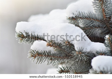 Close up of pine tree branches covered with snow. Beautiful winter background