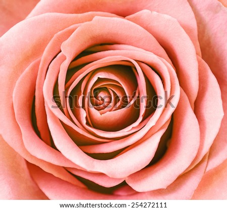 Close up of pink and oragne rose petals. - stock photo
