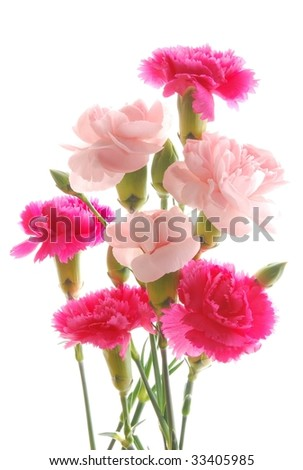 Close-up of pink and red carnations against white background - stock photo