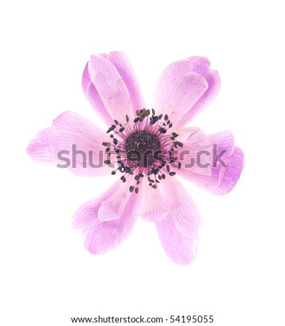 Close-up of pink Anemone isolated on white background - stock photo