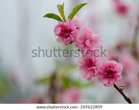 Close up of pink blossoms with blurred background