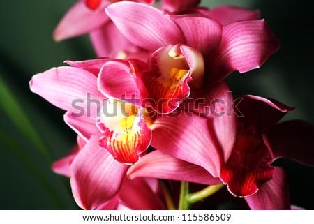 Close Up of Pink Cymbidium Orchids - stock photo