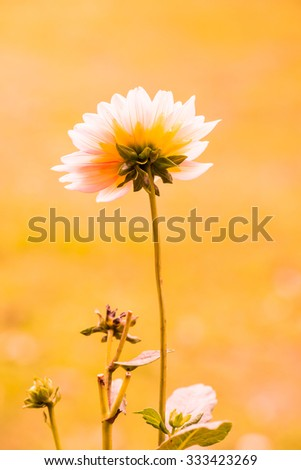 Close Up of Pink Dhalia Flower, Thailand. - stock photo
