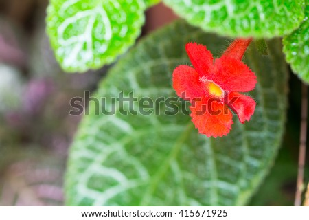 close up of pink Episcia for background design - stock photo