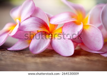 Close up of pink frangipani - stock photo