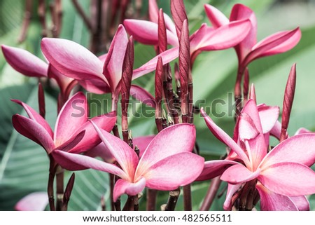 Close up of pink Frangipani flowers, Thailand