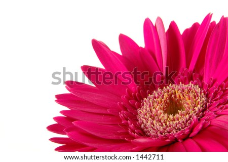 Close up of pink gerber daisy in isolated white