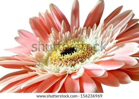 Close up of pink gerbera flower - stock photo