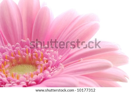 Close-up of pink gerbera flower against white background - stock photo