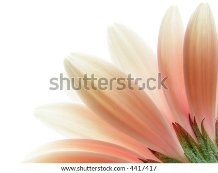 Close-up of pink gerbera petals on white background - stock photo