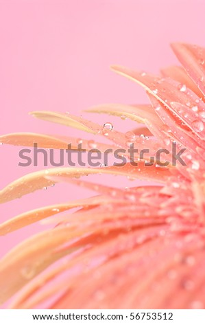 Close-up of pink gerbera with water drops on pink background. - stock photo