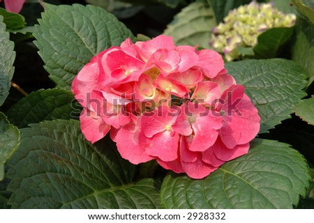 Close up of pink hydrangea macrophylla