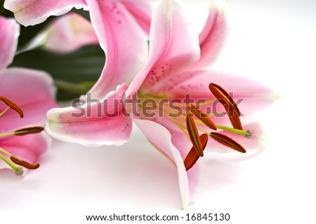 Close Up of pink lillies on white - stock photo
