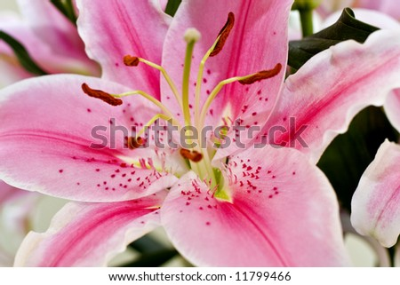 Close up of pink lilly - stock photo