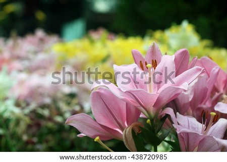 Close up of pink lily flowers in full bloom in a garden - stock photo