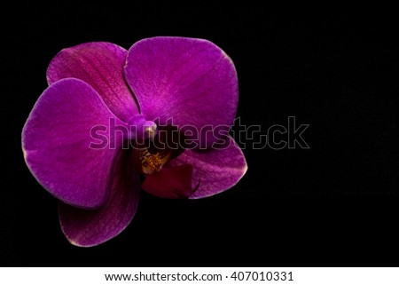 Close-up of pink orchid isolated on black background