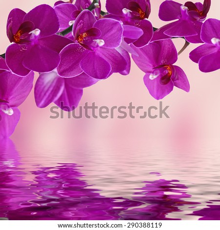 Close-up of pink orchid phalaenopsis. Bouquet of flowers orchids reflected in water - stock photo