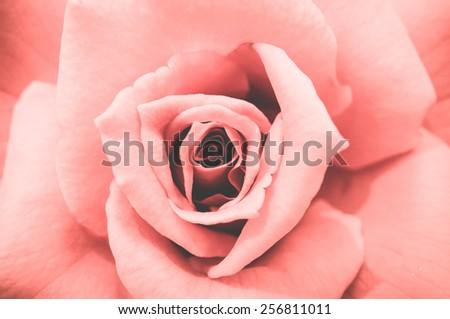close up of pink pastel rose petals - stock photo