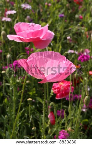 Close-up of pink poppies in a meadow