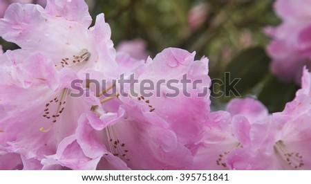 Close up of pink rhododendron flower after the rain - stock photo