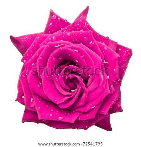 close up of pink rose - stock photo