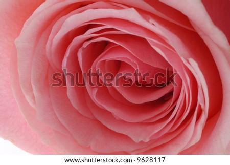 Close-up of Pink Rose - stock photo