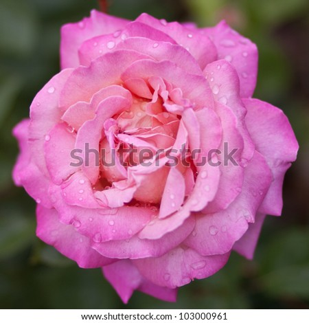 Close-up of Pink Rose - Perfect for Icon Use - stock photo