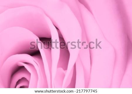 close up of pink rose petals - stock photo