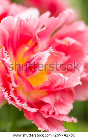 Close up of Pink tulip Flower in the spring garden. Shallow DOF. - stock photo