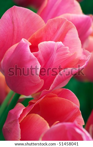 Close-up of pink tulips with green leaves. Shallow DOF. - stock photo