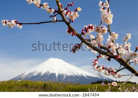 Close-up of Plum blossoms with a dreamy Mt. Fuji in the background - stock photo