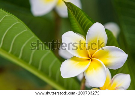 Close up of plumeria or frangipani blossom on the  plumeria tree.