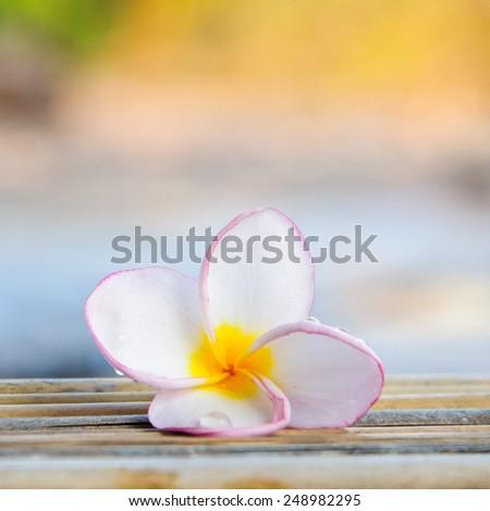 Close up of plumeria or frangipanni blossom flower - stock photo