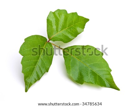 Close-up of Poison Ivy. - stock photo