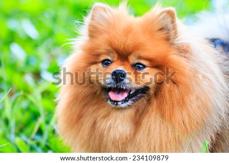 Close up of Pomeranian dog on green grass - stock photo